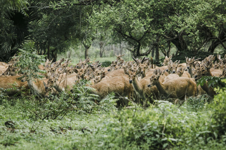 Flock of sheep in a forest