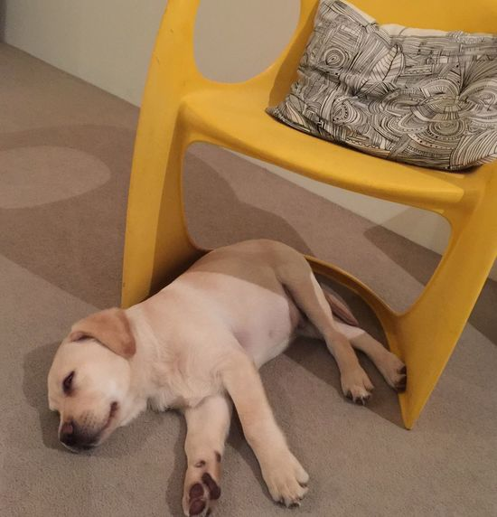 Puppy naps Feeling At Home in Our House Adelaide, South Australia Interior Superretro yellow chair Miltonbiscuit Paint The Town Yellow