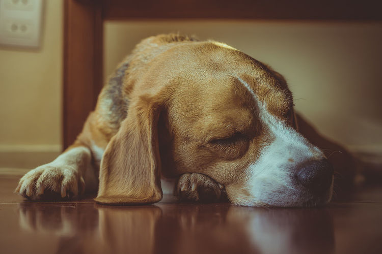 35mm Colorpallet Colorpallete Pet AnimalTheme Pose Domesticanimals Canine Friendforever Friendship Portrait PortraitPhotography Resting Tranquility Rest Dogphotography Modeldog  Brown Innocence Light And Shadow Contrast Composition Mammal Sleeping Dog Pets Dog Close-up Beagle Sleeping Napping