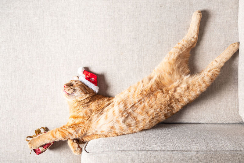 Ginger cat sleeps on the sofa in a funny pose with xmas hat on with present, christmas or new year