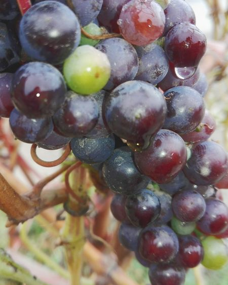 Grape Nature Fruit Growth Bunch Close-up No People Freshness Healthy Eating Vine - Plant Huaweiphotography Eyeem Market Ionita Veronica Veronica Ionita WOLFZUACHiV Photos Wolfzuachiv On Market Huawei Photography WOLFZUACHiV Photography Freshness Slowfood Grapes After Rain Outdoors Slow Food