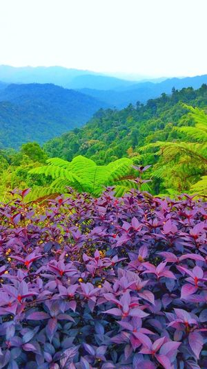 Range of Titiwangsa Nature Beauty In Nature Growth Flower Field Tranquility Plant Green Color Landscape Freshness Scenics Agriculture No People Outdoors Tranquil Scene Rural Scene Day Abundance Sky Fragility