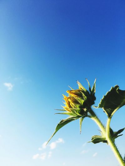 Sunflower Beauty In Nature Kiss The Sky Growth Flower Freshness Low Angle View Fragility Blue Plant Close-up Nature Stem Leaf Bud Petal Sky Beginnings In Bloom Springtime New Life Botany