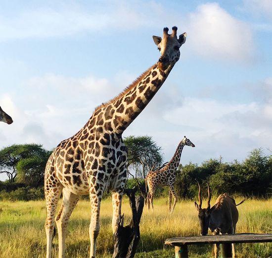 Giraffes on field against sky