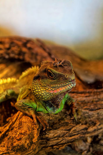 So, where's breakfast? Animal Head  Animal Themes Close-up Cricket Focus On Foreground Foodchain Lizard Lizard Under Heatlamp Reptile Reptile Wildlife Zoology