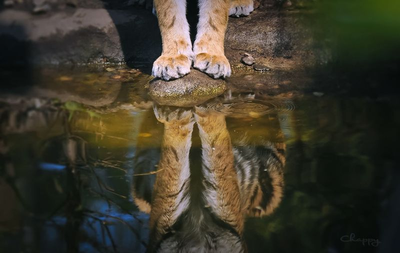 Tiger Body Part Human Body Part One Person Water Low Section Reflection Real People Human Foot Lake Waterfront