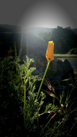 Morning glow California Dreaming Cali Livin' Walk With Me If Only For A Moment California Poppies Northern California The Simplicity Of Beauty California Girl