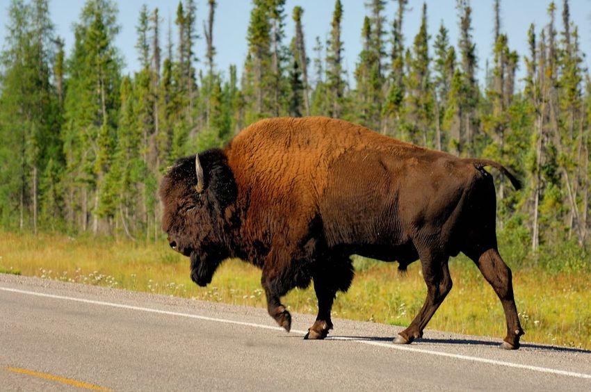 Wild bison Large Animal Bison Road Animal Wildlife Animals In The Wild American Bison No People Outdoors Nature Animal Themes Tree Mammal Day Moose