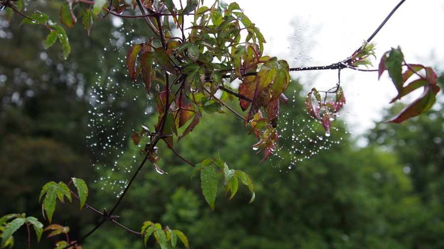 Nature Tree Green Color Outdoors Day No People Leaf Plant Branch Beauty In Nature Sky Defocused Close-up Droplets Spiderweb In Morning Dew In The Garden Waterdrops Nature Plant Green Color Fragility Chiling Out