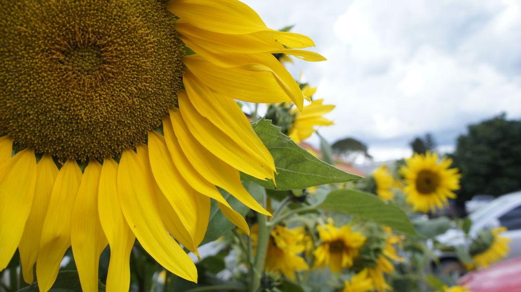 Flower Garden Girassol Nature Sunflower Sunflowers Yellow Yellow Flower
