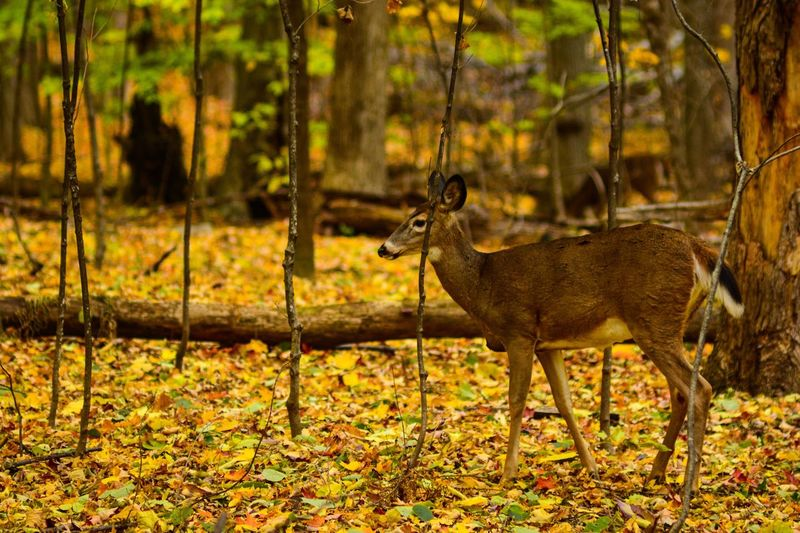 Did she notice me? Fall Autumn Female Deer Female Deer Animal Themes Animal Animal Wildlife Animals In The Wild Mammal One Animal Vertebrate No People Nature Land Sunlight Tree Plant Day Forest Outdoors Side View Full Length Walking Standing