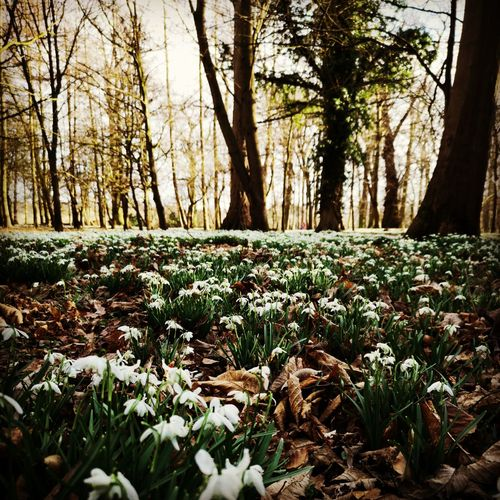 snowdrops Snow Covered Woods Flower Head In Bloom Growing White Plant Life Petal Single Flower Blooming Cold Sunrays Greenery Pollen