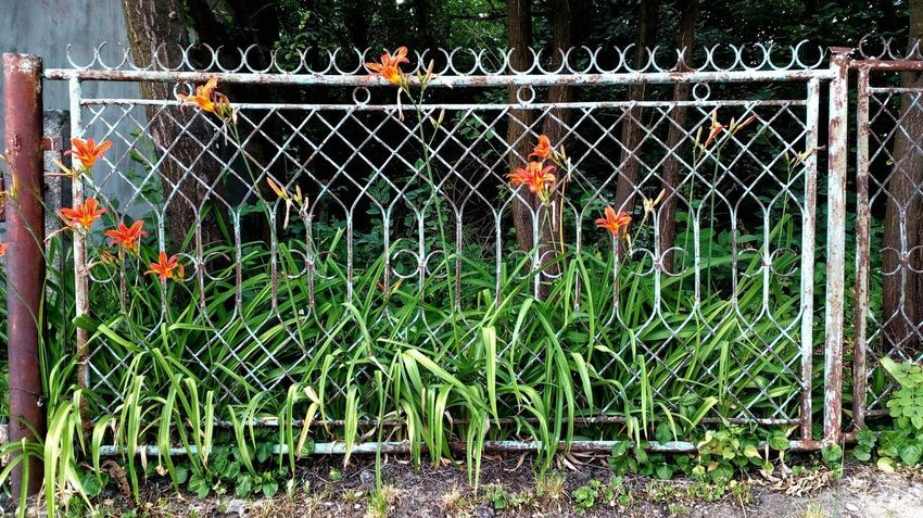 Nature Plant Barrier Outdoors Fence Flowers Flowerpower