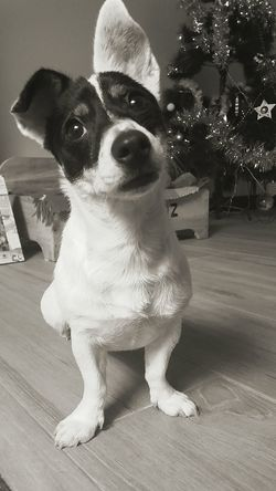 Dog Pets One Animal Looking At Camera Animal Themes Domestic Animals Portrait Jack Russell Terrier Indoors  Cute Pets Black And White Photography