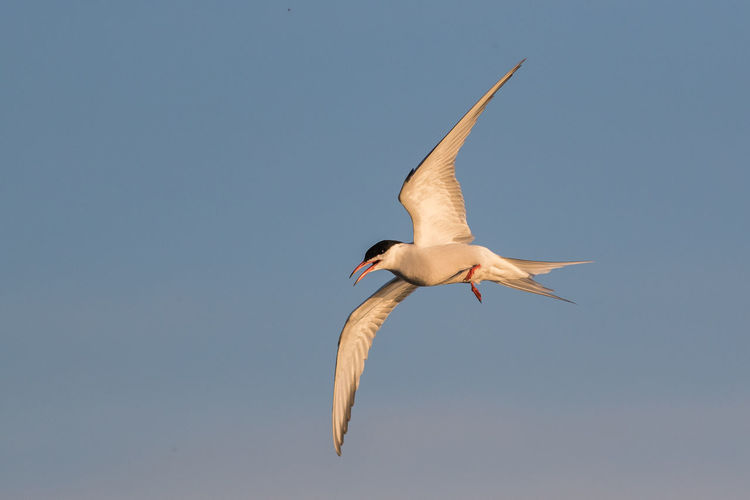 Low Angle View Of Common Tern Flying Against Clear Sky