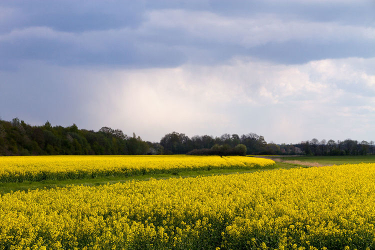 Tranquil view of canola flower field