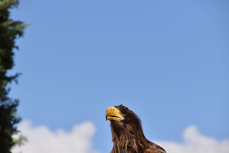 Low angle view of an eagle against sky. close up of the eagles face