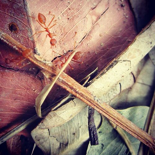 Busy creatures Naturelover Random Capture Wild Life Creature Red Ants Animallover Red Green Leaf Tamia Hills Pachmarhi Madhyapradeshtourism Satpura Hindustankadil Tourist Destination Incredibleindia NOMAD Wanderlust Travel Adventure macro photography canon forest woods