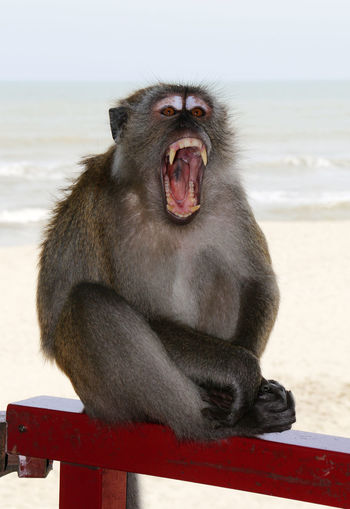 Portrait of monkey yawning