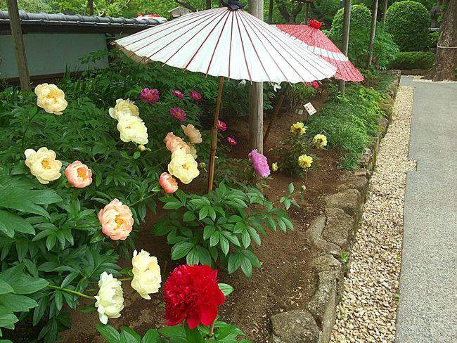 Poeny Flowers