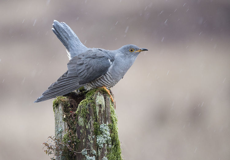 Cuckoo in the rain Beauty In Nature Bird Close-up Cuckoo Day Nature No People Outdoors Spread Wings Wildlife