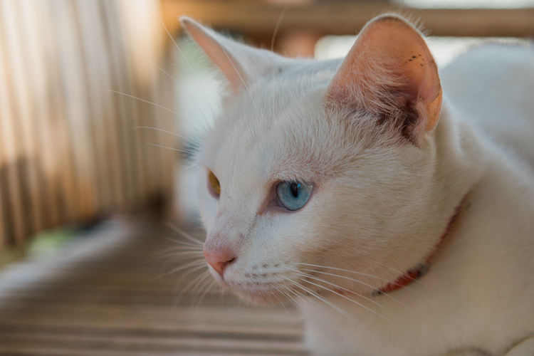 White Cat Animal Themes Cat Close-up Day Domestic Animals Domestic Cat Feline Focus On Foreground Indoors  Mammal No People One Animal Pets Portrait Whisker White Cat
