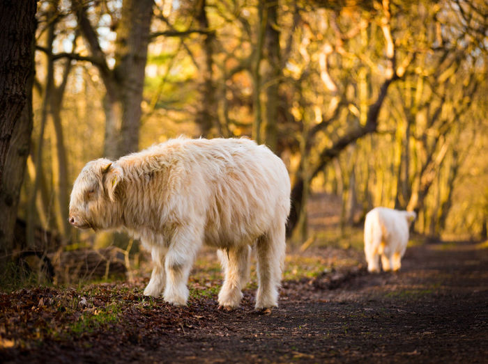White bison against trees in forest