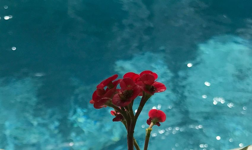 Flower Beauty In Nature Nature Fragility Freshness Growth Red Petal Flower Head Plant Water Close-up No People Blooming Sky Outdoors Day crown of thorns blooming in front of a pool In Sebastian Florida 🇺🇸