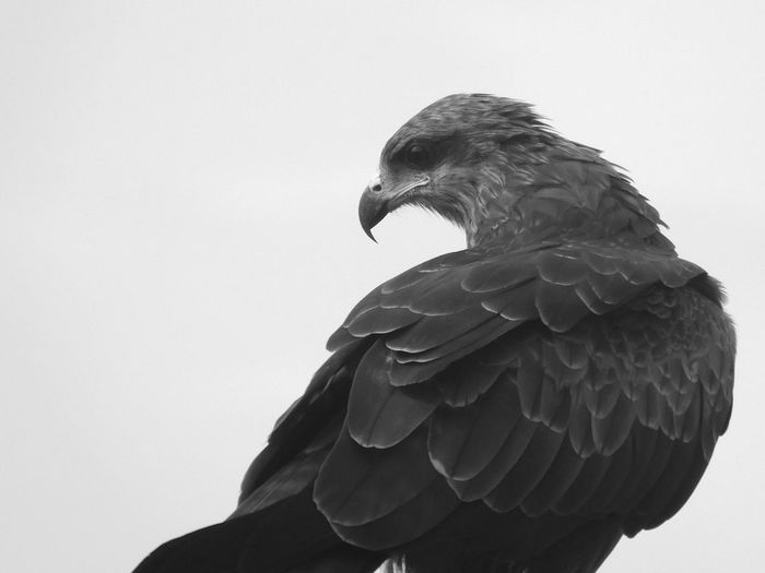 Close-up of black kite against gray background