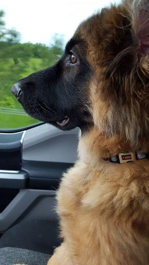 At attention!! Puppy Cute Pets German Shepherd Dog Gsdpuppy GSD Dog Love Germanshepherd