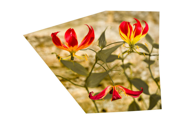 flower Flower Flowering Plant Beauty In Nature Plant Petal Red Freshness Fragility Vulnerability  Close-up Flower Head Inflorescence Nature Growth No People Focus On Foreground Plant Stem Outdoors Auto Post Production Filter Day