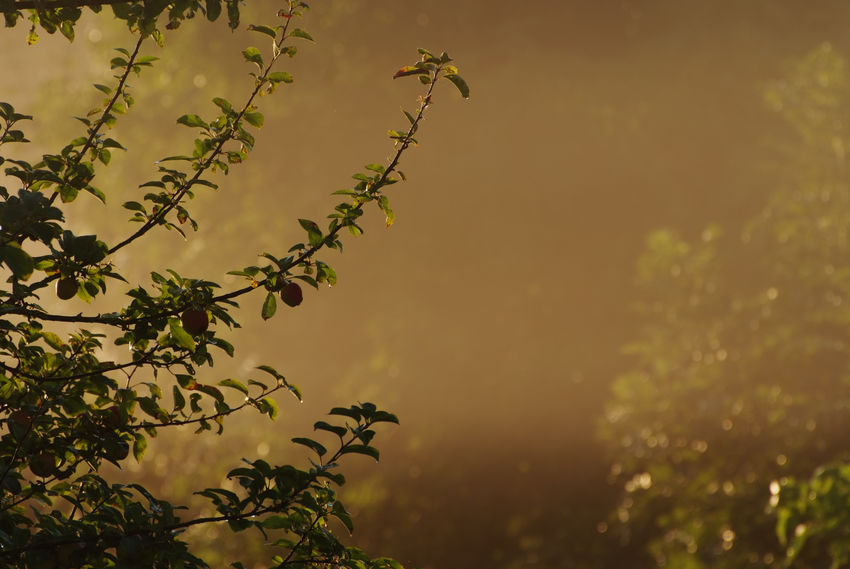 Am fruehen Morgen des 28. August 2017 tauchen die aufgehende Sonne und Fruehnebel ein Maisfeld und die angrenzende Obstwiese in goldenes Spaetsommerlicht. Foto (c) 2017 Kay-Christian Heine Autumn Backlight Late Summer Misty Morning Morning Light Apple Tree Backlit Beauty In Nature Countryside Early Morning First Light Fog Golden Color Golden Hour Growth Hazy  Misty Morning Nature No People Outdoors Sunrise Tree Twig Twigs And Branches