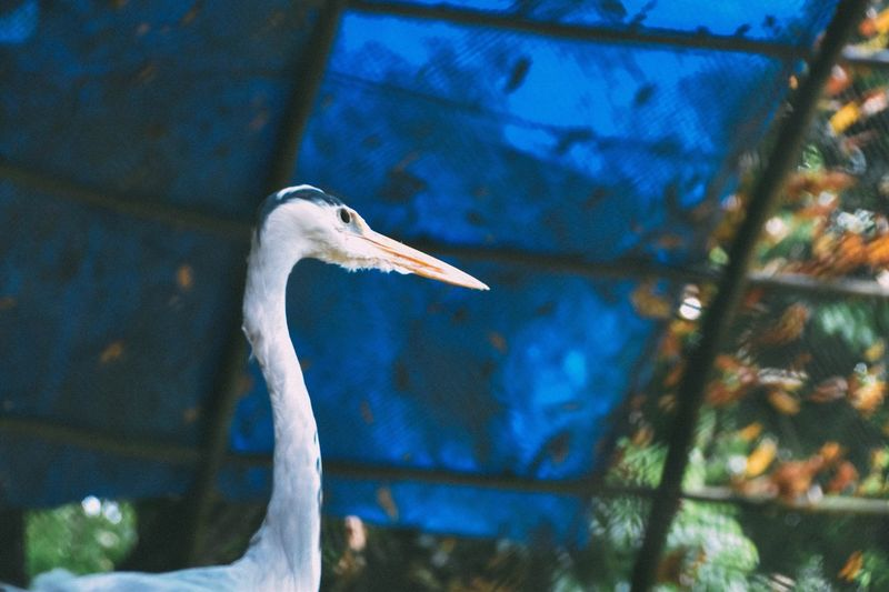 Close-Up Of Grey Heron By Fence