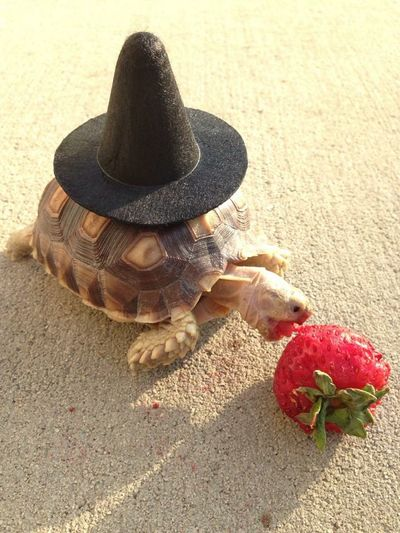 Wizard Iggs! 🎩🍓🐢 Iggythetortoise Sulcata Tortoise Wizard Strawberry TooCute