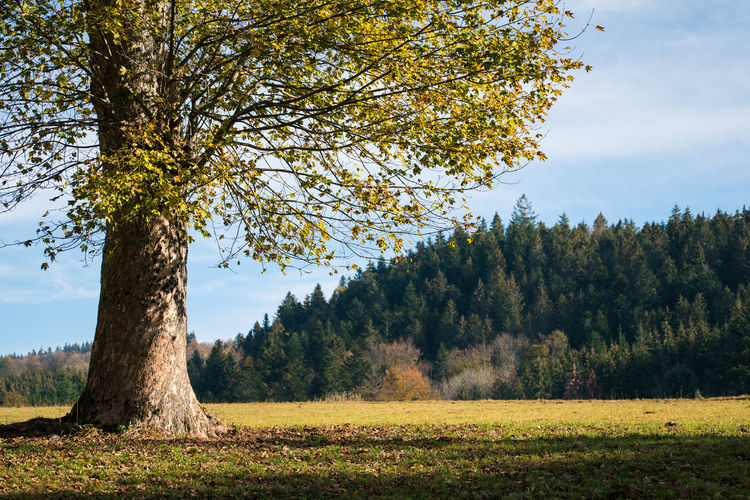 Tree Plant Beauty In Nature Tranquility Tranquil Scene Land Growth Scenics - Nature Sky Field Autumn Landscape Nature Day No People Environment Change Non-urban Scene Outdoors Forest Autumn Leaves Fall Fallen Idyllic Calm Scenics Countryside Single Tree Plant Life