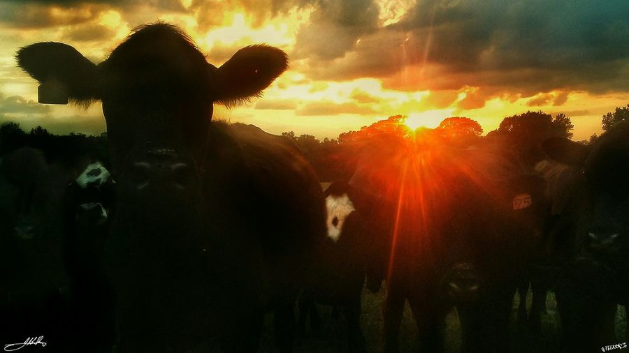 Myinspirations Photooftheday Fleenorslivestock ILoveThisLife Agriculture Farmlife Cattlefarm Enjoying Life Country Life Farm Animals Virginiaphotography Agriculture Photography Farm Photography.. Cattle Cowporn Sunset Cows!!! Cowlover Cowlove Agriculture, Farming, Farm, Husbandry, Agribusiness Simple Moments Sillouette TheThingsILoveMost Moomoos Farming