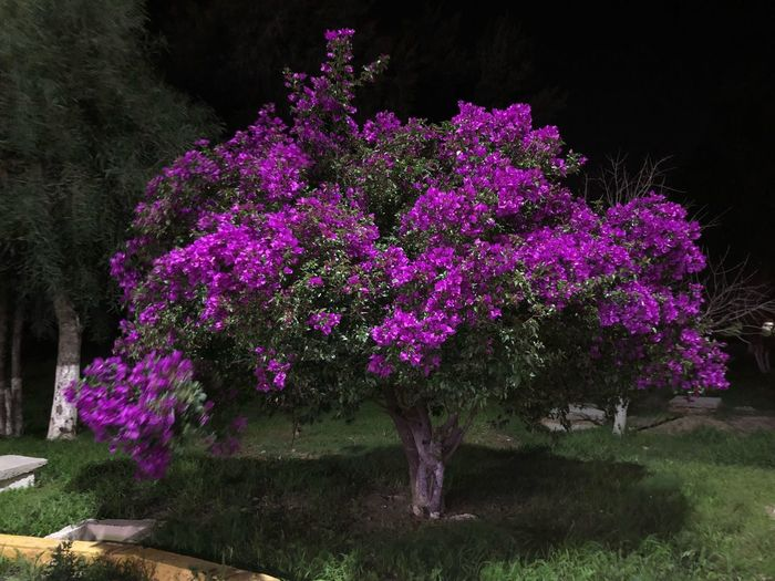 Majestic Purple Plant Flower Flowering Plant Growth Tree Beauty In Nature Nature Freshness Vulnerability  Pink Color Purple Park Tranquility No People Park - Man Made Space Fragility Field Day Outdoors