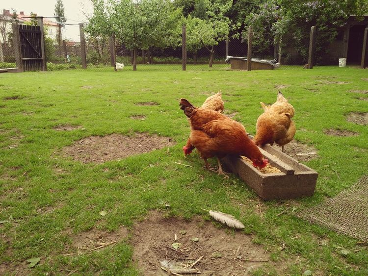 Hens eating from wooden feeder, free range backyard and happy chickens. Hen Grass No People Bird Nature Hens Rhode Island Red Chickens Chicken Animal Eat Eating Feeder Feeding  Farm Fowl Poultry Backyard Free Range Chicken