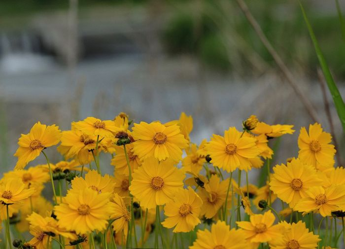 Cosmos Sulphureus Yellow Plant Beauty In Nature Flowering Plant Flower Nature No People Vulnerability  Flower Head