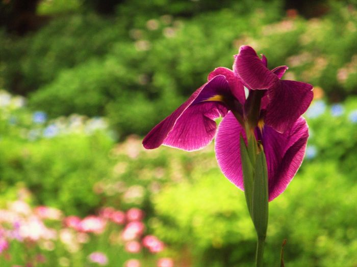 Iris Nature Close-up Flower Flower Head Flowering Plant Nature No People Outdoors Plant Purple