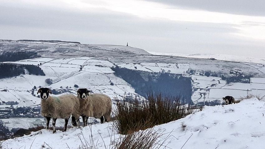 Yorkshire Pennines Stoodley Pike Sheep Snow Nature Nature Photography Wildlife Photography