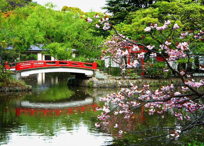 Beauty In Nature Blossom Bridge - Man Made Structure Cherry Blossoms Flower Garden Hidyl Hydrangea Japanese  Japanese Garden Kamakura Nature Pink Color Reflection Tranquility Tree Water