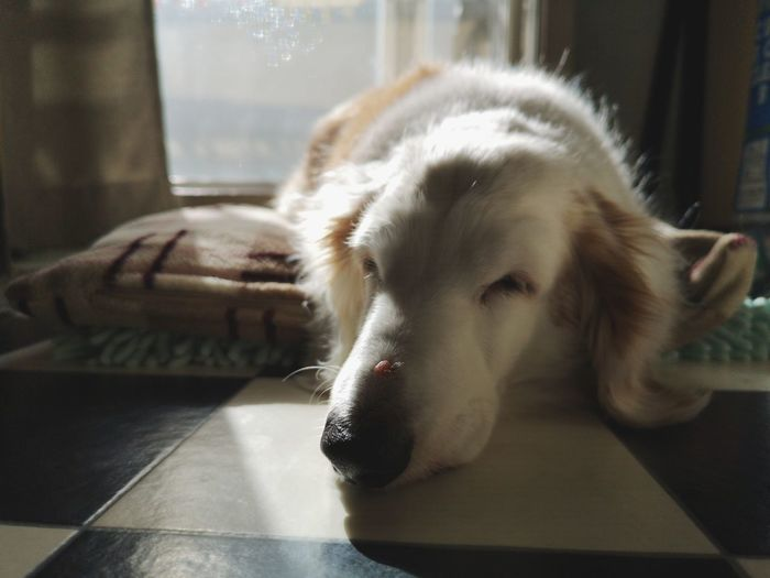 Close-up of a dog resting on table at home