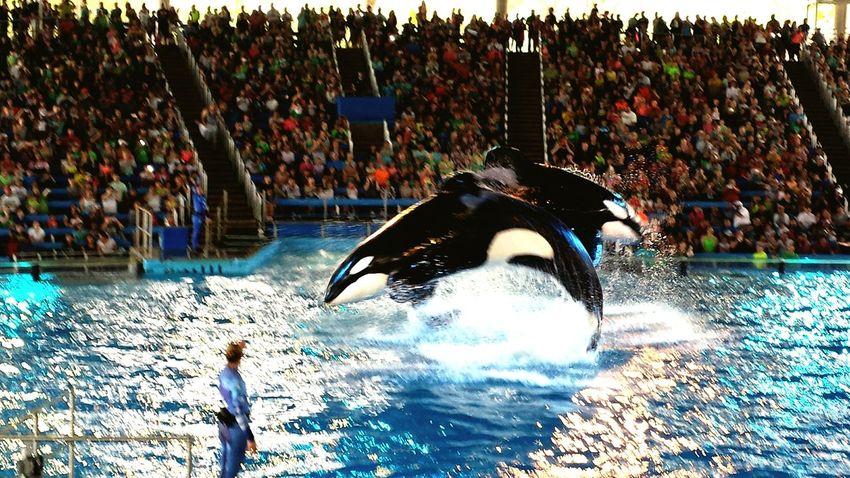 sea world Sea World San Antonio, TX Shamu Show Killer Whale First Eyeem Photo