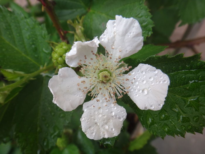 Beauty In Nature Blackberry Bloom Blooming Blossom Close-up Day Floriferous, Flower Flower Head Fragility Freshness Fruit-bearing, Green Color Growth Leaf Nature No People Outdoors Petal Plant Raspberry Water Wet White Color