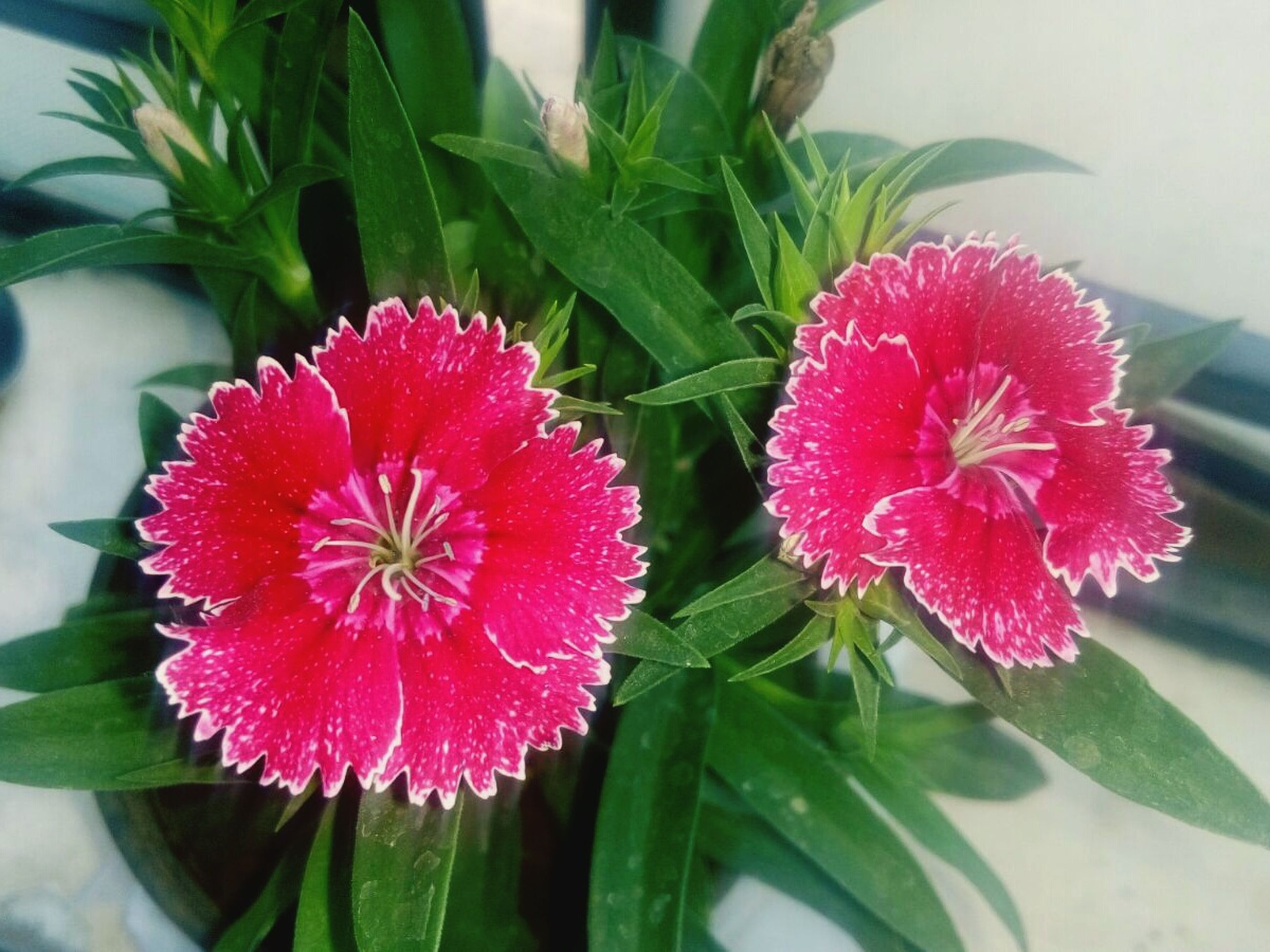flower, freshness, red, petal, growth, fragility, close-up, flower head, plant, beauty in nature, pink color, focus on foreground, nature, leaf, blooming, potted plant, high angle view, green color, no people, indoors