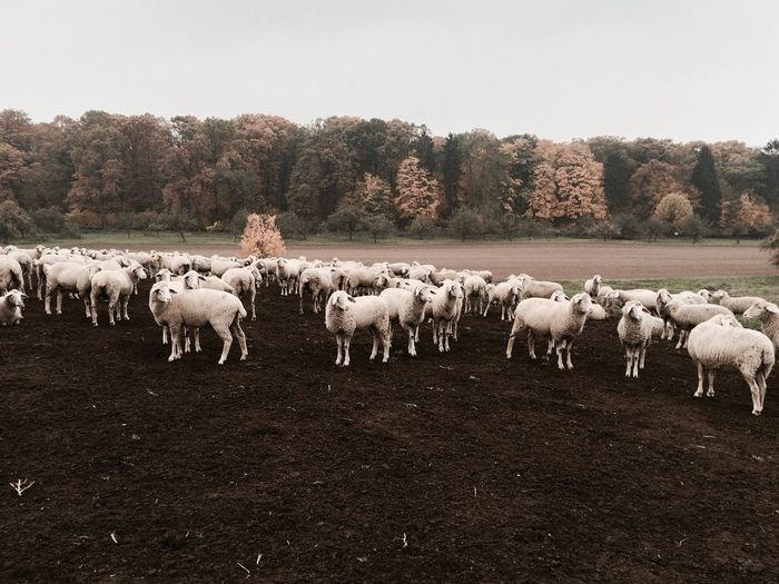Flock Of Sheep On Field Against Sky