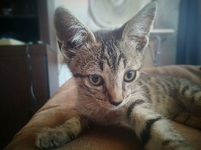 Pets Animal Domestic Cat One Animal Day Indoors  Looking At Camera Domestic Animals Home Interior Domestic Life Portrait Feline Tabby Cat Mammal No People Close-up