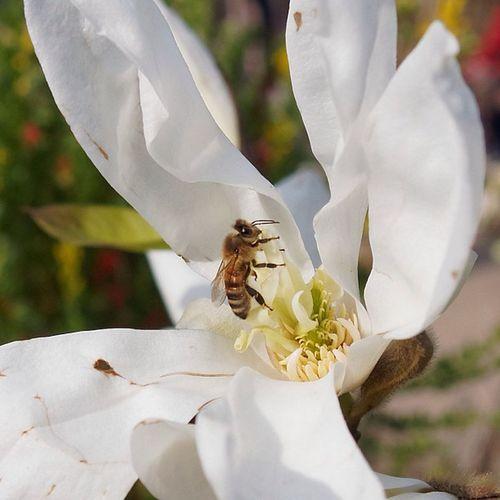 Bssssssssss Bee Flower Insect Nectar nature biene blume insekt natur white weiß gelb yellow