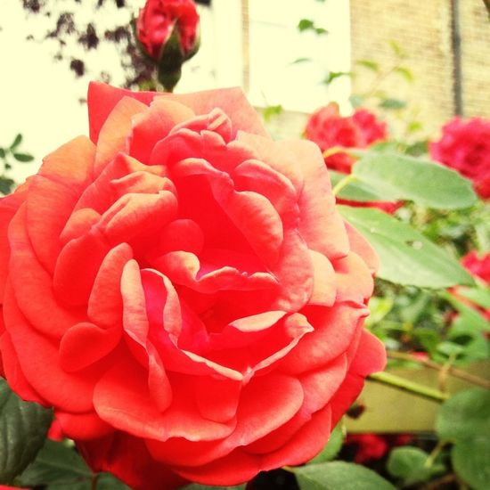 Glorious rose.. But it doesn't have a strong scent!! False advertising say I!